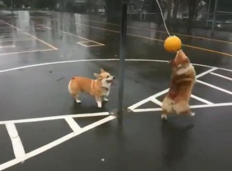 two-corgis-playing-tether-ball